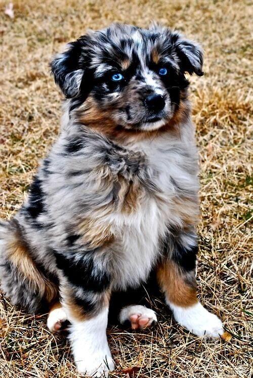 Beautiful Australian Shepherd Puppy Pups Pinterest