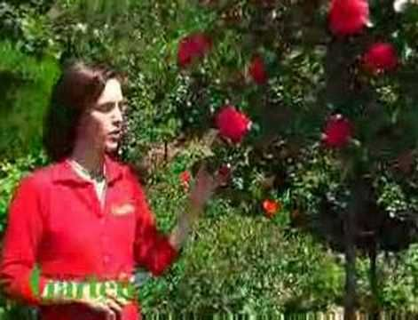 Um zur Höchstform aufzulaufen, brauchen Rosen auch im Sommer etwas Zuwendung. Hier sehen Sie, was man beim Düngen, Wässern und Blütenschnitt beachten sollte.