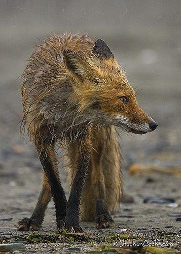 Wet fox: