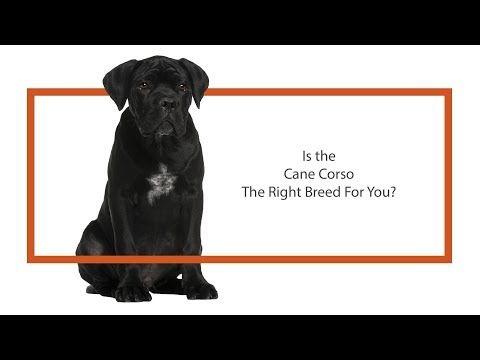 Petland Naperville Puppies For Sale Cane Corso Dog Id 2435349 Blue Ready To Adopt Today Cane Corso Cane Corso Dog