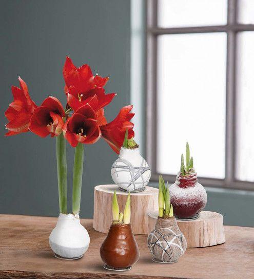 No Water Wax Dipped Amaryllis Bulbs Vivaterra Amaryllis Bulbs Amaryllis Red Amaryllis