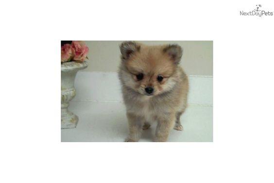 Pomeranian Puppy For Sale Puppaws Com Adorable Little Female Pom Precious 17612070 9af1 Pomeranian Puppy For Sale Pomeranian Puppy Pomeranian For Sale
