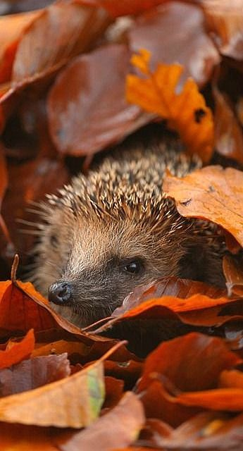 Hedgehogs... magical tiny creatures who make nests in piles of fallen leaves in which to sleep away the winter.