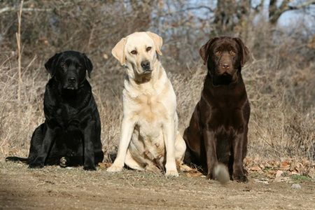 Labs are my favorite dogs. My dad has a black lab and I will too, one day.