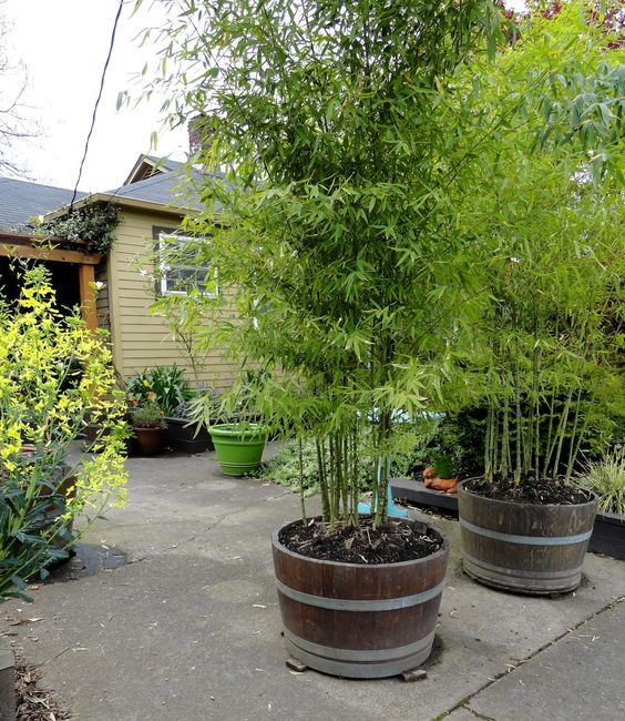 Bamboo in barrels. Grows quickly, adds privacy. Efective way to control any invasive plant, like bamboo.