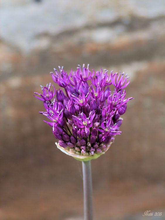 Allium aufgehende Blüte