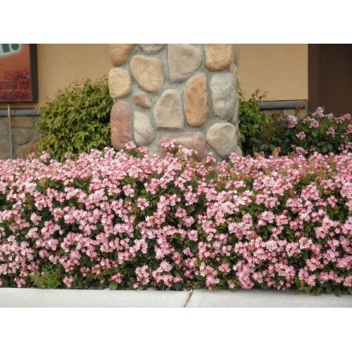 Pink lady indian hawthorne plants for my yard for Trees that stay small
