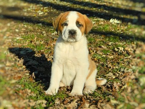 Saint Bernard Puppy For Sale In Ypsilanti Mi Adn 57837 On