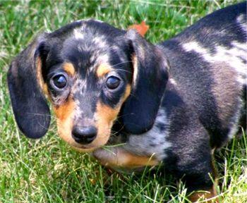 For sale dachshund dapple