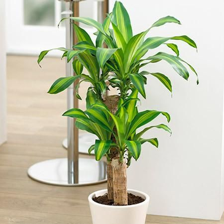 The Houseplant That Survives Any Conditions - The Corn Plant, or 'Dracaena', is the top indoor plant, perfect for keeping in the home or office because they are impossible to kill. They will thrive in areas with low, indirect light with little to no maintenance.  Corn Plants are very forgiving and won't go...