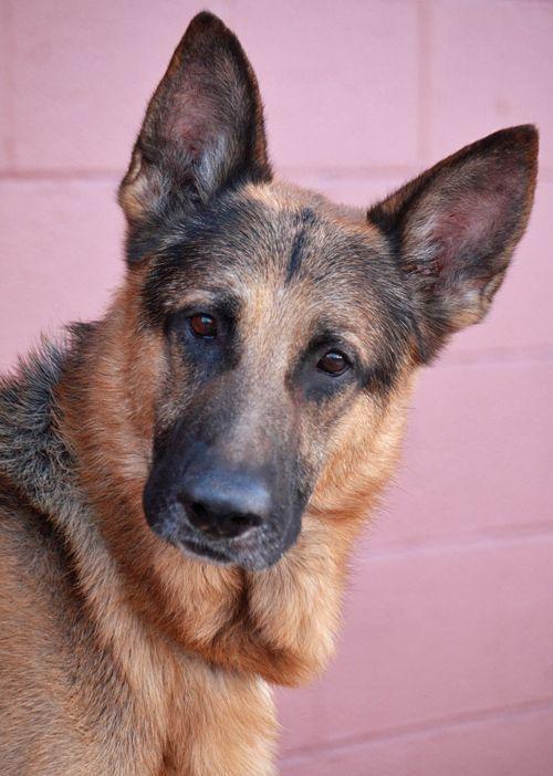 Westside German Shepherd Rescue Of Los Angeles Germanshepherd German Shepherd Dogs Shepherd Dog German Shepherd