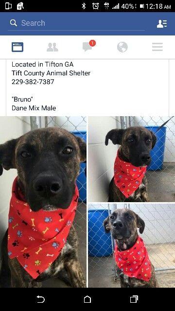 Bruno - Tifton #Georgia  #adopt #rescue #pet #dog #pitbull