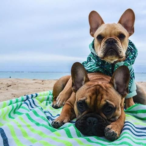 Aloha We Are Fred And George From The Beautiful Island Of Oahu We Love Our Daily Walks Around Waikiki And We Guess It Bulldog Puppies French Bulldog Bulldog
