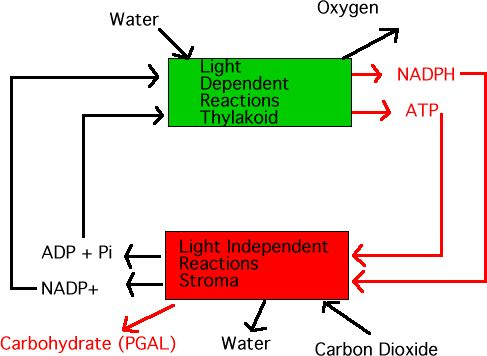 Photosynthesis and Lights on Pinterest