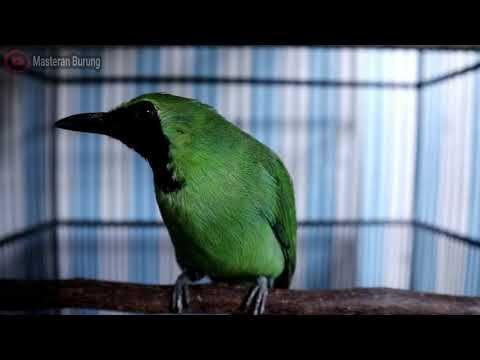 Cucak Ijo Gacor Suara Paling Merdu Dan Enak Di Dengar Cocok Buat Mastera Burung Cocok