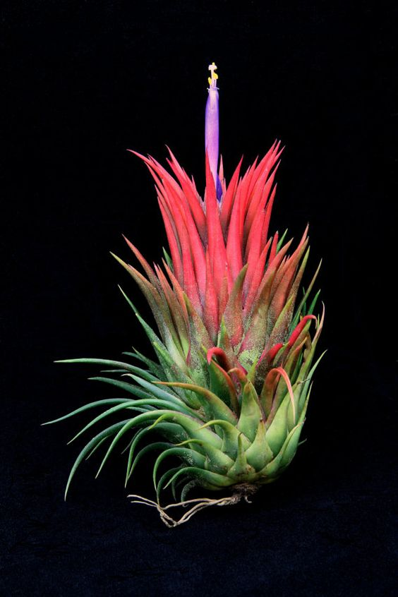 """Airplant/Tillandsia ionantha """"Rosita""""-Very large and Colorful Ionantha. $5.95, via Etsy."""