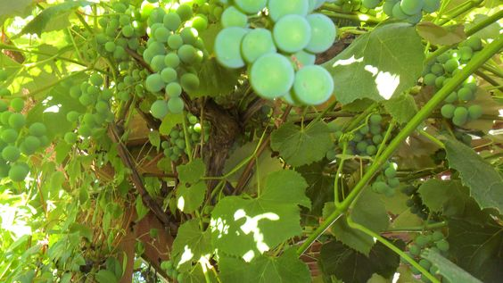 Concord Grapes growing on my Arbor