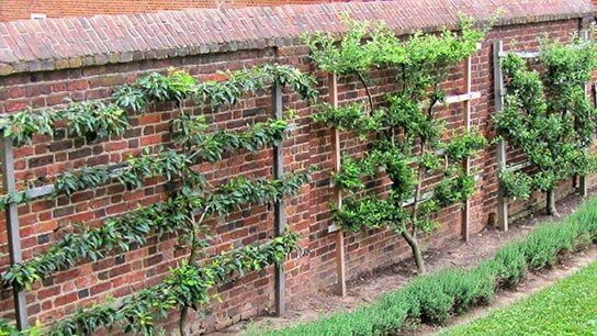 On Training A Fruit Tree Avec Images Jardinage Amenagement