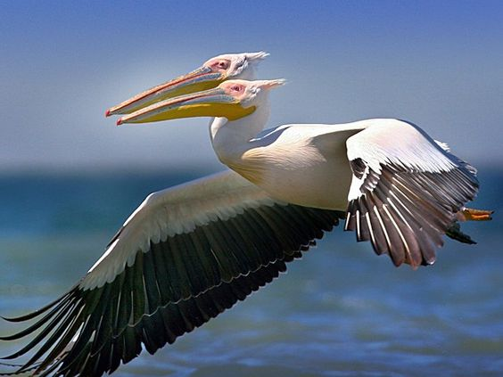 """Feliz coincidência? Pelicano de """"duas cabeças"""" foi flagrado em pleno voo sobre o delta do Rio Danúbio!"""