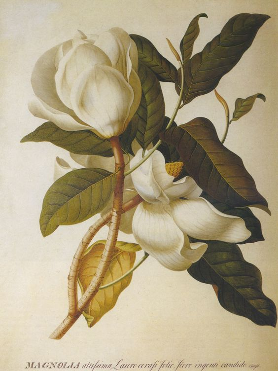 Magnolia illustration                                                                                                                                                      Más