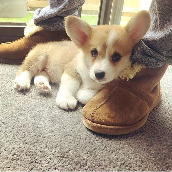 Cute Corgi Puppy Cute Corgi Puppies Funny Corgi Puppy Funny Corgi