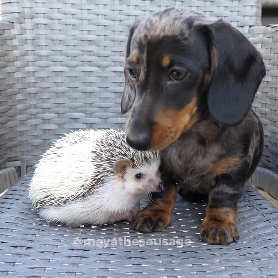 African Pygmy hedgehog and Silver Dapple miniature dachshund:
