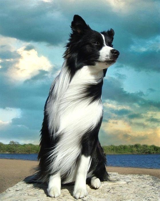 Border Collie Gram Comment Eduquer Son Chien En Seulement 15 Minutes Par Jour Une Educatrice Professionnelle Va Dogs Dogs And Puppies Border Collie Puppies