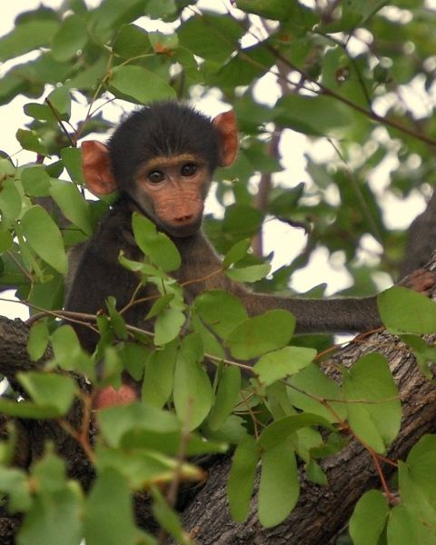 Baby baboon playing in a tree