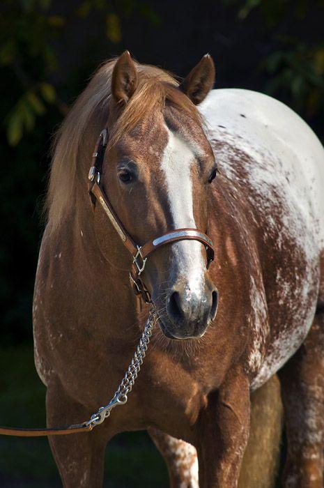 Appaloosa stallion Bit Guilty