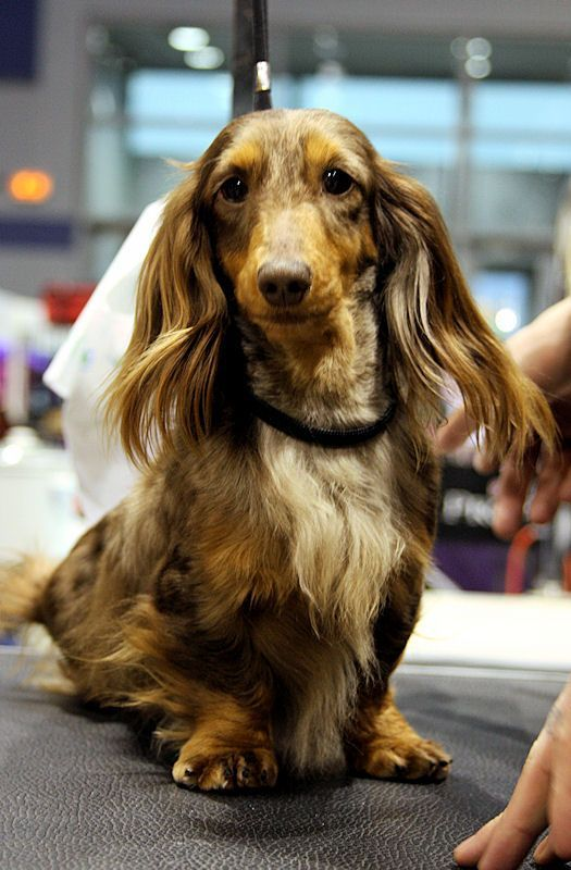 Champagne Long Hair Mini Dachshund Longdox Dog Pictures With