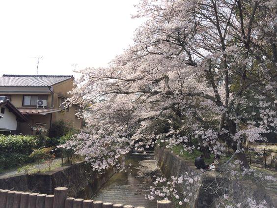 京都での桜