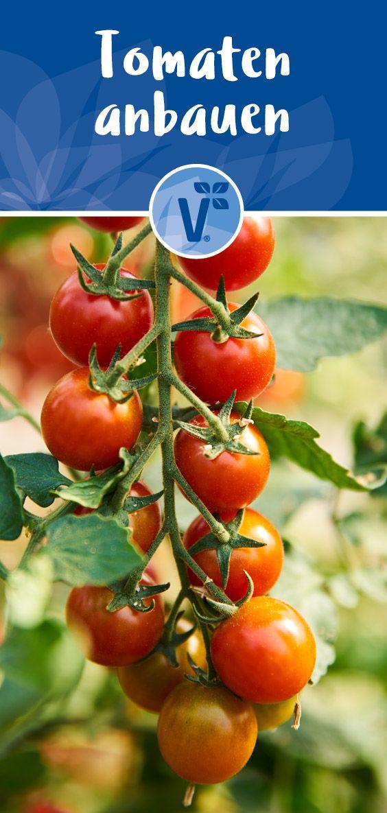 Tomaten Anbauen Der Beste Standort Fur Tomaten Plant Happy In 2020 Tomaten Anbauen Tomaten Tomaten Sorten