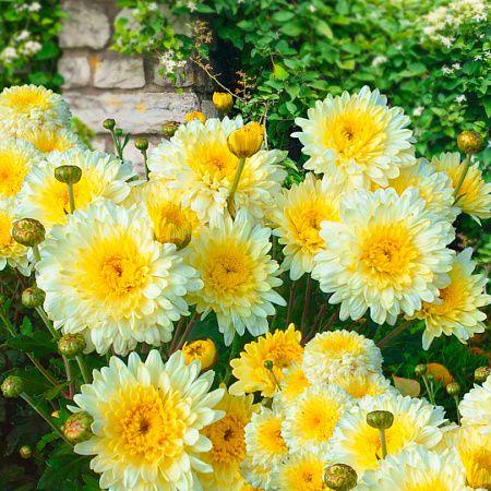 Купить Хризантема корейская Элен Вайт — от НПО Сады Росcии с доставкой