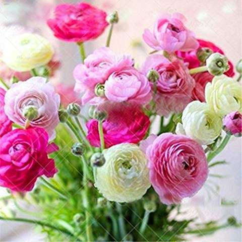 2pcs Ranunculus Asiaticus Bulbs Rich And Colorful Flowers With Perennial Herbaceous Flowers Decorative Home Gard Ranunculus Flowers Bulb Flowers Trees To Plant