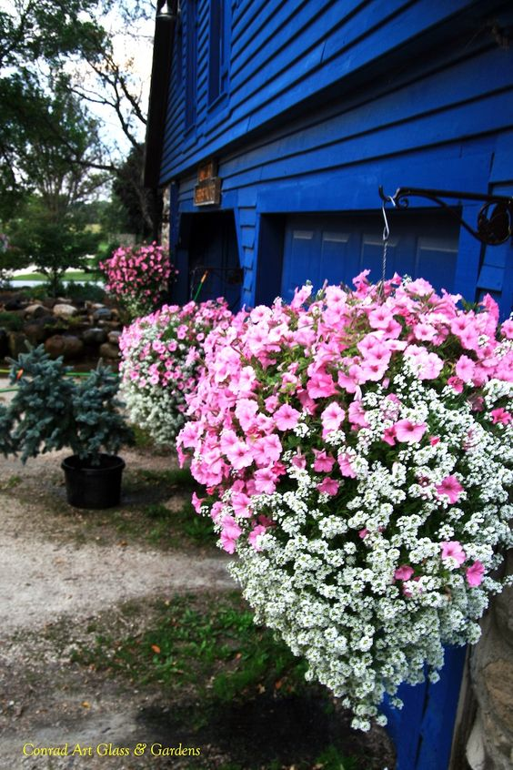 Supertunia Bubblegum Vista With Lobularia Snow Princess
