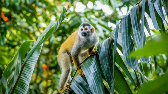 https://flic.kr/p/mHdKSy | Squirrel Monkey | Early morning guest to coffee at our verandah.