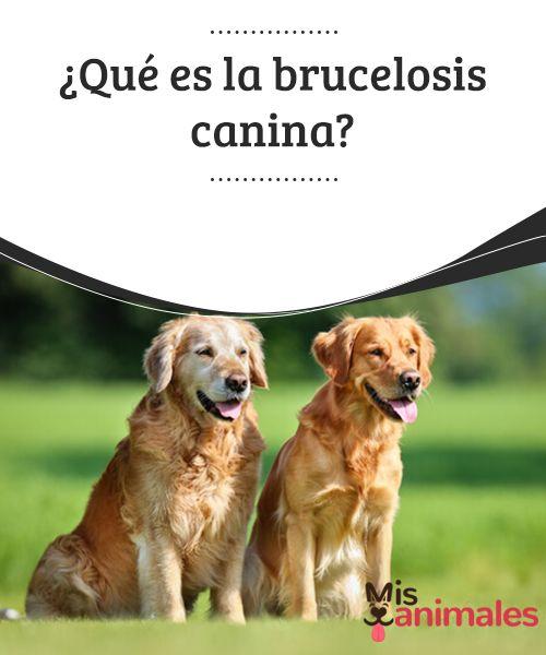 Que Es La Brucelosis Canina My Animals Perros Mascotas El Encantador De Perros Entrenamiento Perros