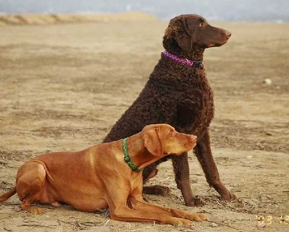 The Curly Coated Retriever is the largest and oldest of all the Retriever breeds.