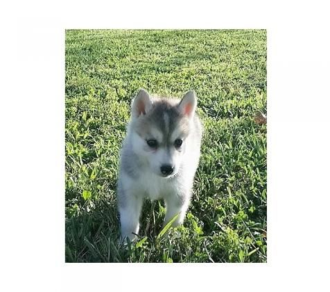 Elegant Potty Trained Siberian Husky For Your Family Www Catholicpetboutique Com