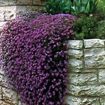 Fast growing ground cover, Purple Cascading Aubrieta. Saw it first in Switzerland years ago & fell in love with it in all different colors