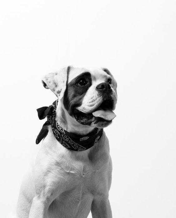 バンダナを巻いたおしゃれでかっこいい犬の壁紙