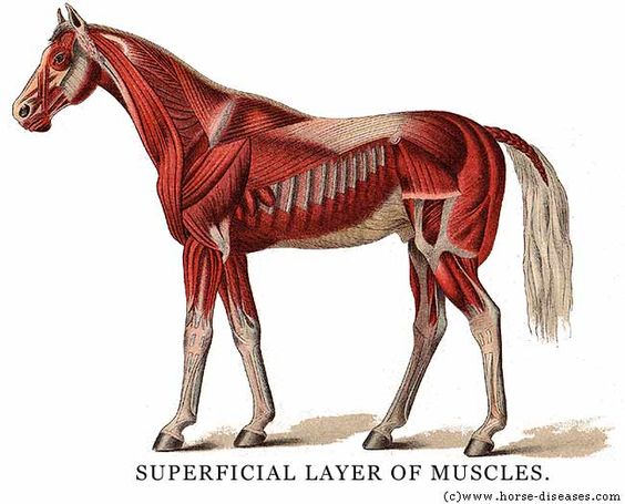 A site on the anatomy of a horse: skeleton, circulatory, muscle, etc.