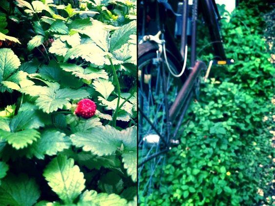 Native Plants – The Delightful Wild Strawberry