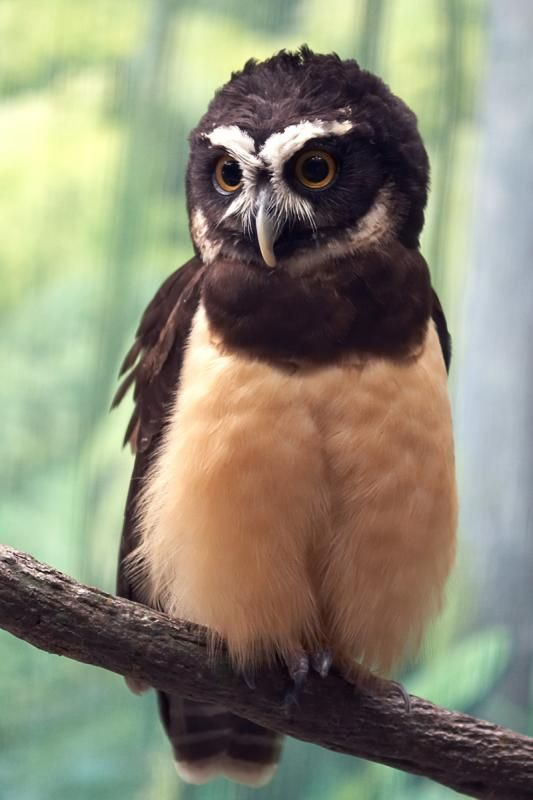 The Speckled Boobook, also called the Oriental Hawk owl (Ninox punctulata)
