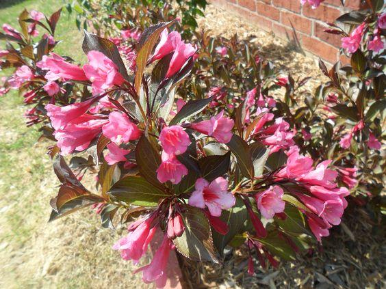 memorial day rose plant