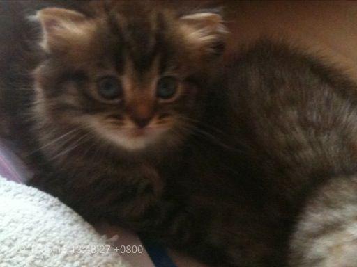 Fold Sale Nj Scottish Kittens For