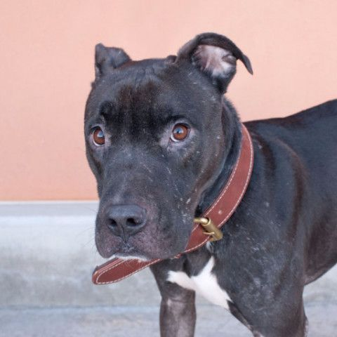 Get To Know Ruff Patch Rescue Dog Adoption Pitbulls Cute Baby Animals