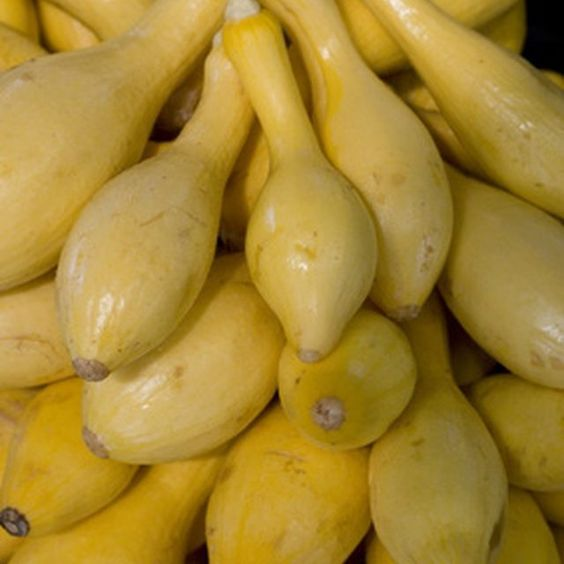 summer squash plants yield ample harvests