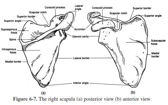 Appendicular Skeleton Worksheet - Worksheets