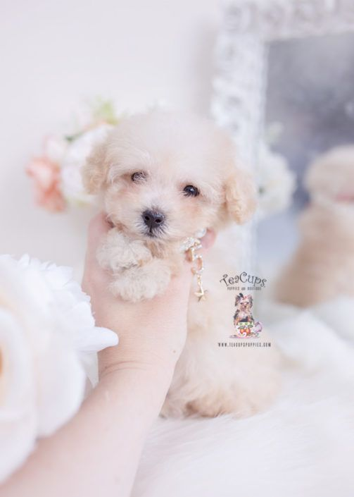 Apricot Poodle Puppy For Sale Teacup Puppies 356 Poodle Puppy Teacup Puppies Cute Teacup Puppies